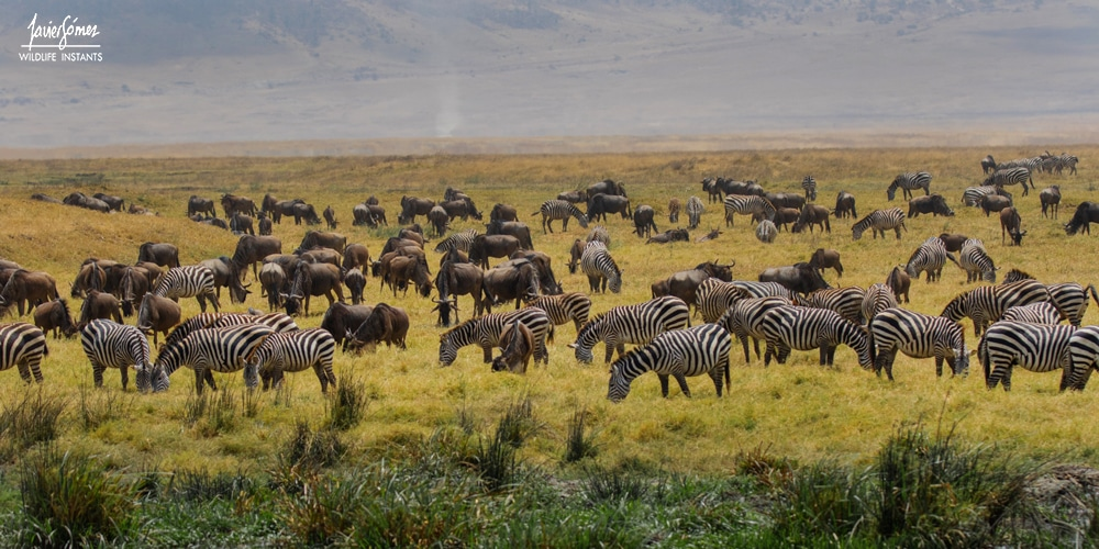 Cebras y ñues  - Ngorongoro Conservation Area (NCA)